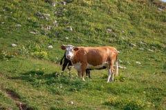 Il paesaggio dell'estate in alpi con le mucche che pascono sulla montagna verde pascola Fotografia Stock