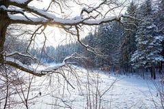 Il paesaggio dell'inverno, rami della quercia ha coperto di neve contro lo sfondo degli abeti immagine stock libera da diritti