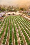Il paesaggio della fragola fresca fruttifica azienda agricola e fila della fragola Immagine Stock