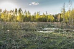 il paesaggio della molla della palude al tramonto, giovani alberi si sviluppa fra l'alta erba asciutta Immagine Stock Libera da Diritti