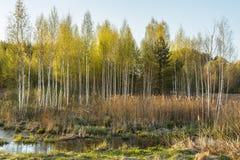 il paesaggio della molla della palude al tramonto, giovani alberi si sviluppa fra l'alta erba asciutta Fotografia Stock