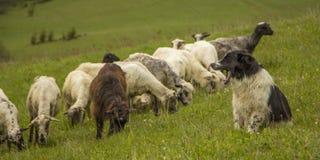 Il paesaggio della natura con la moltitudine di pecore si chiude su immagine stock