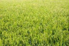 Il paesaggio della risaia fotografia stock