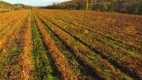 Il paesaggio della vigna è distante, con le file delle viti coperte di foglie gialle stock footage