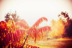Il paesaggio di autunno con fogliame rosso dell'albero di Staghorn Sumac, cade natura all'aperto Fotografie Stock