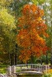 Il paesaggio di autunno con l'arancio lascia l'albero Fotografia Stock Libera da Diritti
