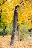 Il paesaggio di caduta con giallo lascia l'albero Immagine Stock Libera da Diritti