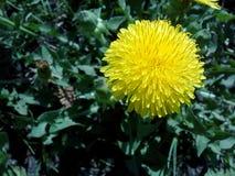 Il paesaggio di fioritura del giardino dei raggi del dandelionyellow dei fiori dei giardini progetta il farmrussia di verdure di  Fotografie Stock Libere da Diritti