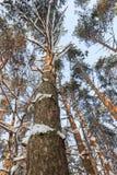 Il paesaggio di inverno Gli alberi nella neve Immagini Stock