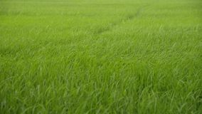 Il paesaggio di riso insegue l'ondeggiamento nel vento stock footage
