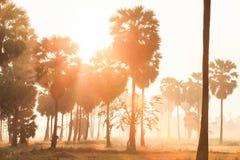 Il paesaggio fantastico delle palme e del giacimento di mattina leggeri, l'alba dorata splende giù intorno alle palme ed alla ris immagine stock