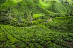 Il paesaggio più bello alla piantagione di tè in Malesia Fotografia Stock