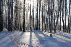Il paesaggio splendido della foresta siberiana di inverno con gli alberi di betulla nella neve fra le derive bianche fotografia stock libera da diritti