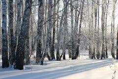 Il paesaggio splendido di una foresta siberiana di inverno con gli alberi di betulla nella neve fra le derive bianche fotografia stock libera da diritti