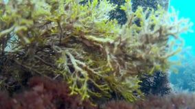 Il paesaggio subacqueo con le alghe brune e muovere il ` s del sole rays archivi video