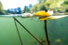 Il paesaggio subacqueo del fiume con le alghe, la frittura e l'acqua sorgono Fotografie Stock