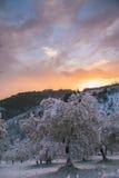 Il paese delle meraviglie di inverno con di olivo nella neve al tramonto Immagini Stock