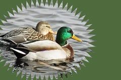 Il paio dell'allevamento di Mallard Ducks il nuoto sulle acque calme Immagini Stock