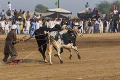 Il Pakistan rurale, l'emozione ed il toro di cerimoniale corrono Fotografie Stock
