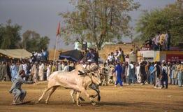 Il Pakistan rurale, l'emozione ed il toro di cerimoniale corrono Immagini Stock