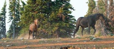 """Il palomino fuligginoso del †dei cavalli selvaggii """"e gli stalloni neri che corrono nel cavallo selvaggio delle montagne di Pry fotografie stock"""
