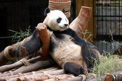 Il panda Fotografie Stock