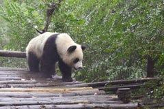Il panda Fotografia Stock