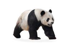 Il panda Immagine Stock
