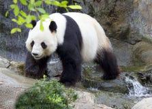 Il panda gigante (panda bianco) Fotografia Stock