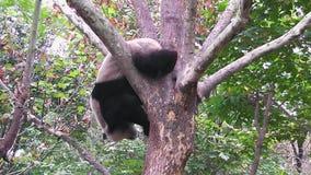 Il panda gigante sull'albero video d archivio