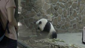 Il panda triste si siede in una recinzione concreta crudele stock footage