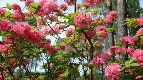 Il panorama del fiore rosa del rododendro fiorisce ed offuscato la gente archivi video