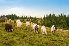 Il panorama di paesaggio con il gregge delle pecore e le capre pascono sul pascolo verde nelle montagne fotografia stock