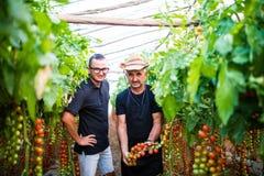 Il papà ed il figlio controllano il raccolto del pomodoro ciliegia nell'affare di famiglia della serra Fotografia Stock Libera da Diritti
