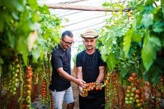 Il papà ed il figlio controllano il raccolto del pomodoro ciliegia nell'affare di famiglia della serra Fotografie Stock