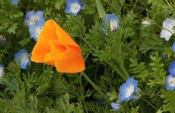 Il papavero arancione in un'erba con pioggia cade Fotografia Stock Libera da Diritti
