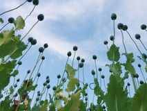 Il papavero di campo nel villaggio di Ivanovo in Serbia Fotografie Stock