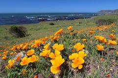 Il papavero dorato fiorisce lungo l'oceano Pacifico, Big Sur, la California, U.S.A. Immagini Stock Libere da Diritti