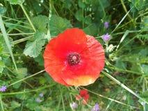 Il papavero, fiore del campo Fotografia Stock