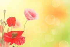 Il papavero fiorisce la priorità bassa Fotografie Stock Libere da Diritti