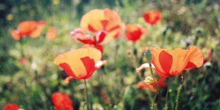 Il papavero fiorisce lungo la strada di Lycian - retro effetto Fotografie Stock Libere da Diritti