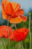 Il papavero fiorisce, papavero, flowersd eterogeneo del papavero, Fotografia Stock