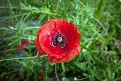 Il papavero nel giardino fotografie stock libere da diritti