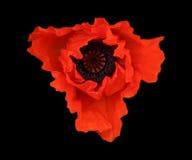 Il papavero rosso Fotografie Stock