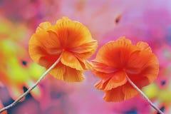 Il papavero rosso enorme due fiorisce su un fondo luminoso multicolore molto variopinto fotografia stock