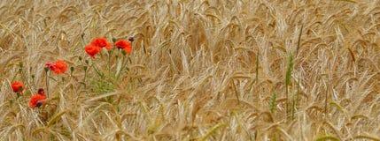 Il papavero rosso selvatico fiorisce in un giacimento di grano Fotografie Stock Libere da Diritti