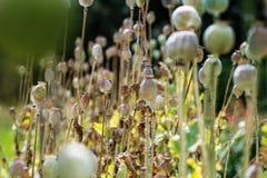 Il papavero si dirige, campo del papavero, teste del papavero fotografie stock