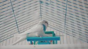 Il pappagallino ondulato maschio che gioca con una campana sulla gabbia video d archivio