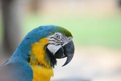Il pappagallo immagini stock