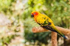 Il pappagallo di conuro di Sun si siede appollaiato sul ramo Fotografia Stock Libera da Diritti